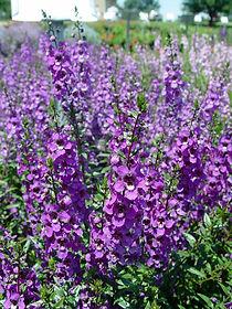 angelonia.serena.purple2.jpg