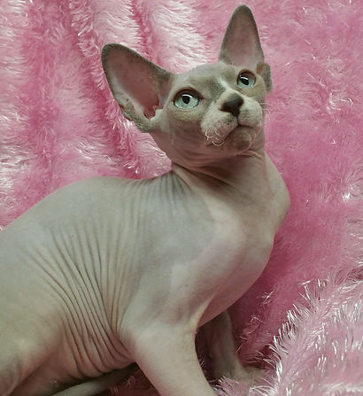 Sphynx female cat