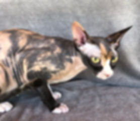 Sphynx female cat