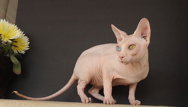 Sphynx male cat