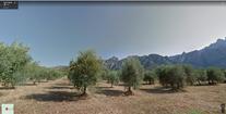 C - olive fields