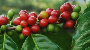 What is Cascara Tea?
