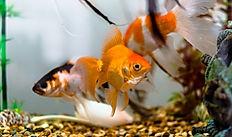 Fish, Aquarium, Goldfish, Cordate, Olfactores, Aquatic Animals, Aquatic Craniate, Tank, Reiki, Animal Reiki, Reiki For Animals, What is Reiki, Reiki Healing, Energy Medicine, Distant Healing, Complementary and Alternative Medicine