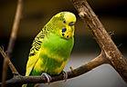 Bird, Parakeet, Budgie, Aves, Endothermic Vertebrates, Reiki, Animal Reiki, Reiki For Animals, What is Reiki, Reiki Healing, Energy Medicine, Distant Healing, Complementary and Alternative Medicine