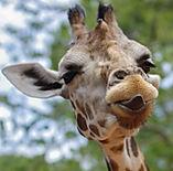 Giraffe, Giraffa, Panthera, Africa, Reiki, Animal Reiki, Reiki For Animals, What is Reiki, Reiki Healing, Energy Medicine, Distant Healing, Complementary and Alternative Medicine