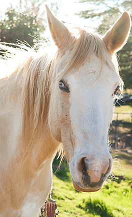 Horse, Equus Caballus, Equus, Equine, Therapy, Therapeutic, Pasture, Reiki, Animal Reiki, Reiki For Animals, What is Reiki, Reiki Healing, Energy Medicine, Distant Healing, Complementary and Alternative Medicine