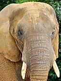 Elephant, Pachyderm, Herd, Africa, Safari, Reiki, Animal Reiki, Reiki For Animals, What is Reiki, Reiki Healing, Energy Medicine, Distant Healing, Complementary and Alternative Medicine