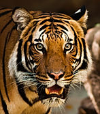 Tiger, Cat, Kitten, Big Cat, Wild Animal, Reiki, Animal Reiki, Reiki For Animals, What is Reiki, Reiki Healing, Energy Medicine, Distant Healing, Complementary and Alternative Medicine