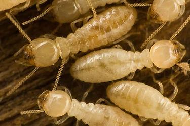 subterranean-termites.jpg