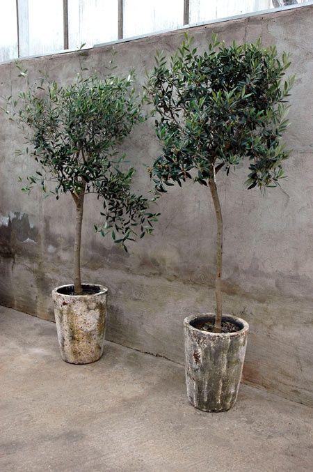 Olive Tree's Ceremony