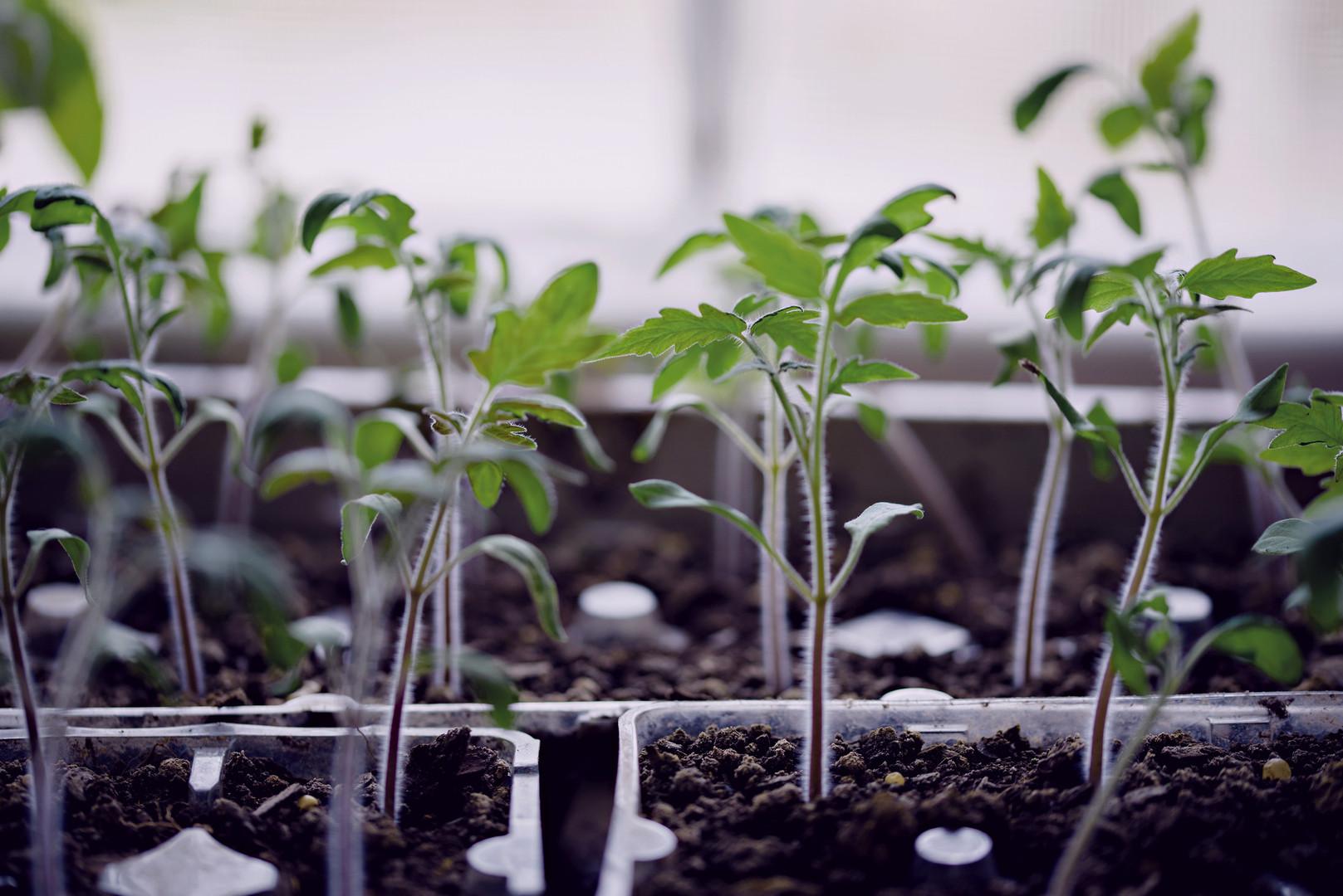 web tomato seedlings.jpg