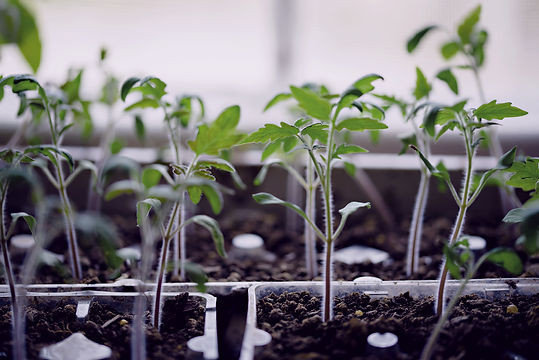 web tomato seedlings.jpg