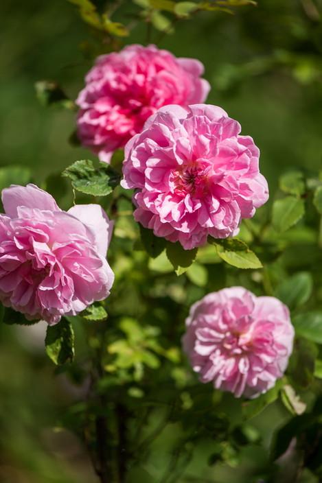 Alte Rosensorten.jpg