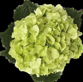 lime green premium & regular.png