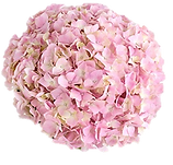 shell pink cortad.png