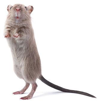 Avidity-mouse.jpg