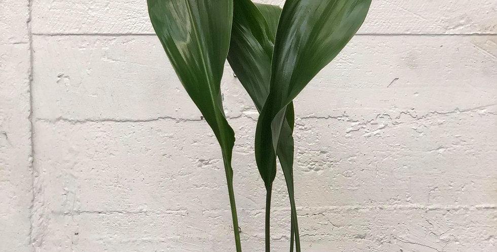 Aspidistra Elatior 15cm
