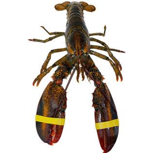 LIVE LOBSTER活龙虾