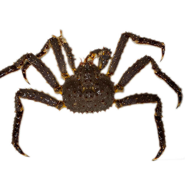 Live King crab 活帝王蟹