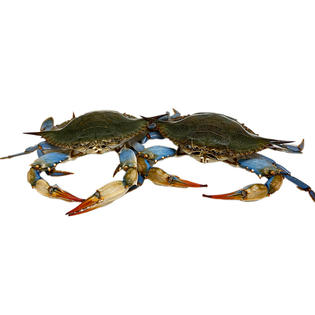 Live Maryland Blue Crab 活马里兰青蟹