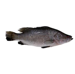 ASIA SEA BAS亚洲海鲈鱼