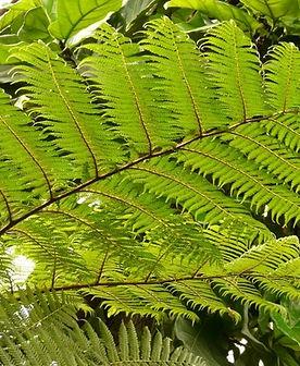 tree_fern_fern_dicksonia_antarctica_2279