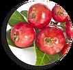 Crab Apple fruit