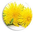 dandelion-circle.jpg