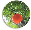 Marsh-yew-circle.jpg