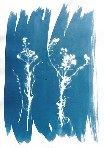 'capturing nature: gardens we dream' cyanotype monoprint on paper