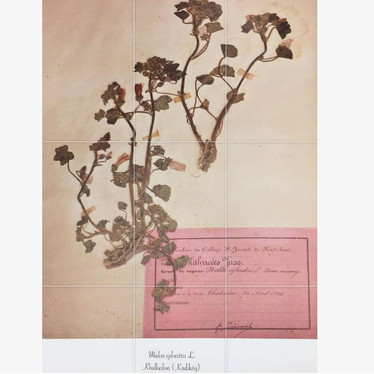 a plant from the herbarium collection of our neighborhood, Khalkedon.