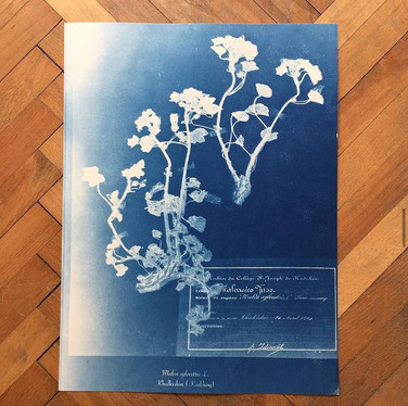 a plant printed with cyanotype-blue print technique from the herbarium collection of our neighborhood, Khalkedon.