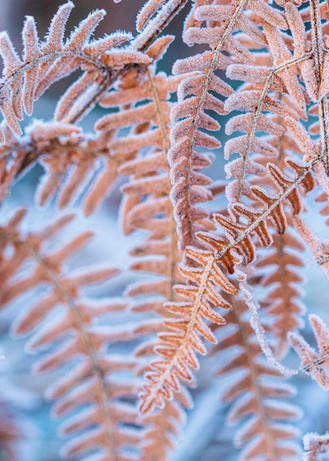 Frost n Fern