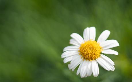 Meadow Daisy