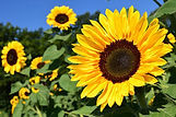 Sonnenblume 1.jpg