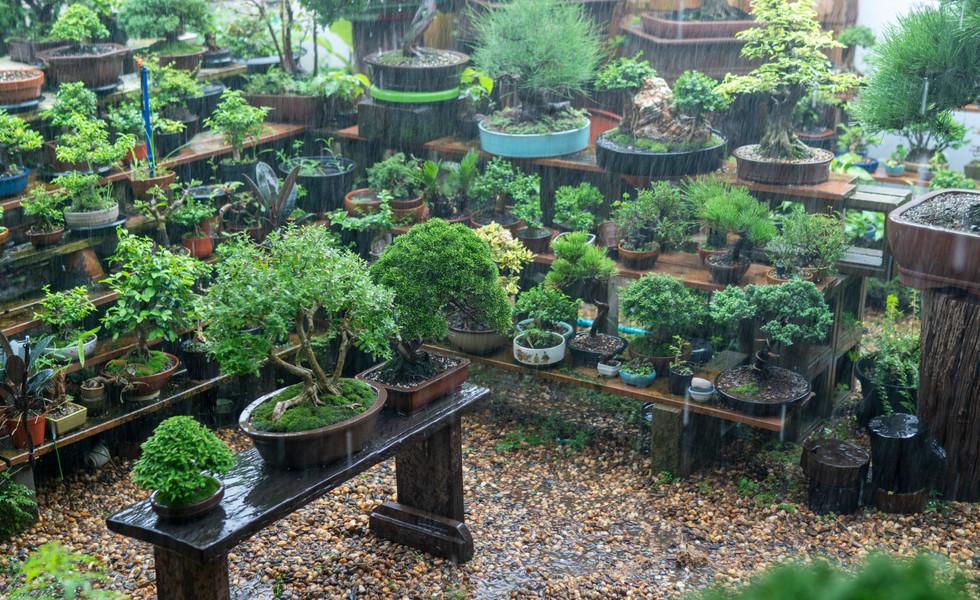 collector-s-bonsai-are-gaining-rainjpg