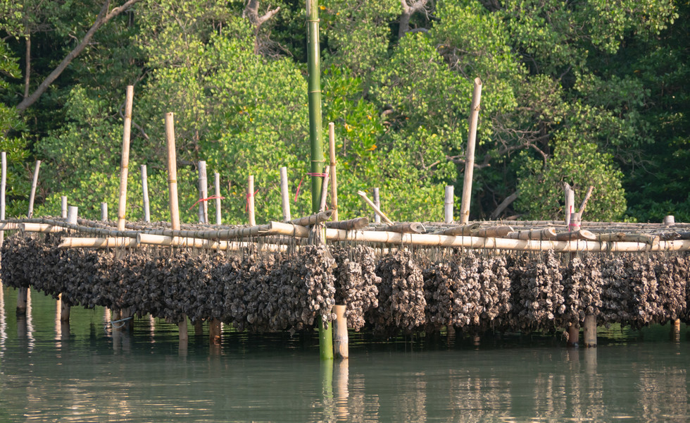 oysters-with-tied-rope-bamboo-waterjpg