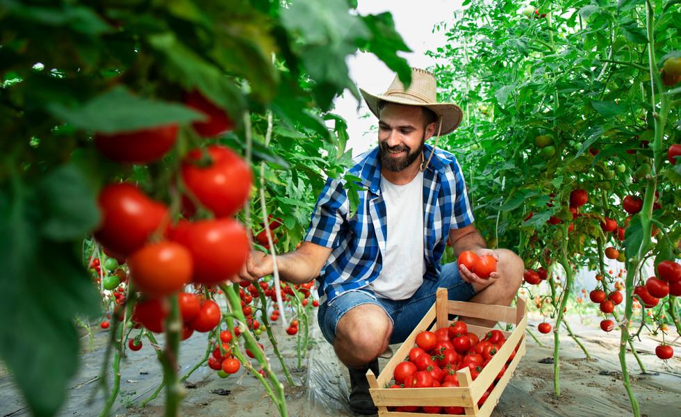 farmer-picking-fresh-ripe-tomato-vegetab