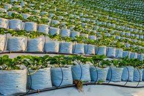 agriculture-strawberry-farm-terrace-moun