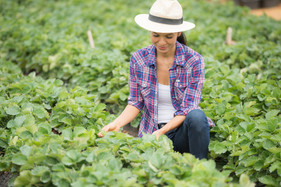 farmers-are-working-strawberry-farmjpg