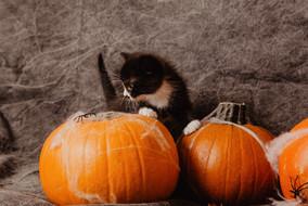 kitten-halloween-decorationsjpg