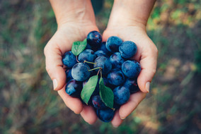 fresh-blue-ripe-wild-forest-plums-woman