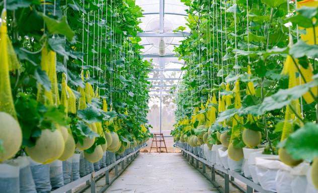 fresh-melon-tree-plastic-house-farm-supp