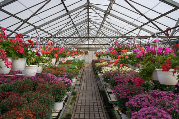 flowers-production-cultivation-many-chry