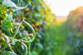 yardlong-beans-farmjpg