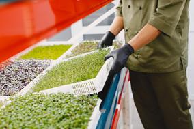 microgreen-corundum-coriander-sprouts-ma