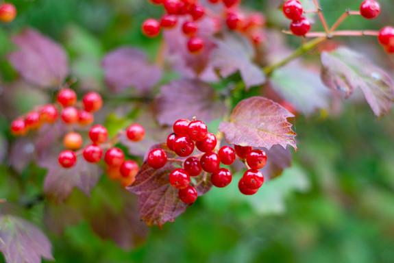 ripe-viburnum-berries-bush-summerjpg