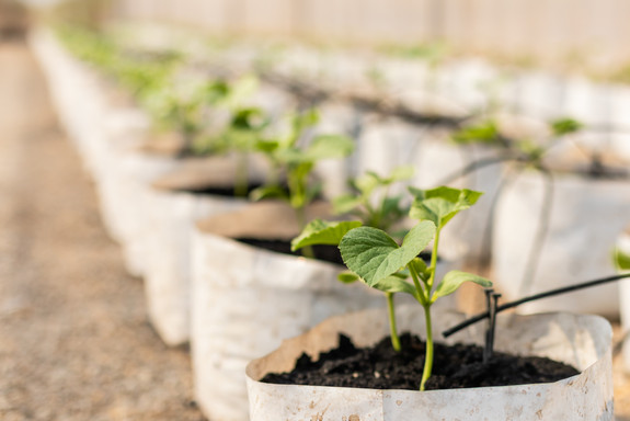 row-young-green-melon-treea-white-seedli