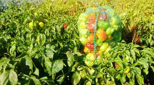 sacks-fresh-bell-pepper-field-eco-friend
