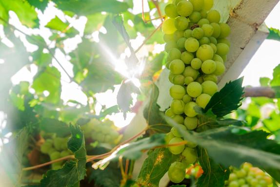 picture-ripe-white-grape-branch-grape-le